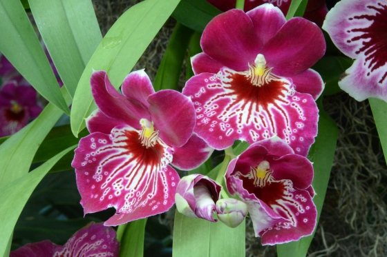 pansy orchids for grammy