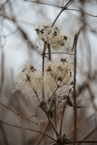 winter flowers on the battenkill January 1, 2016