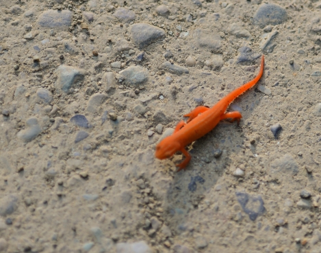 salamander-on-binninger-rd
